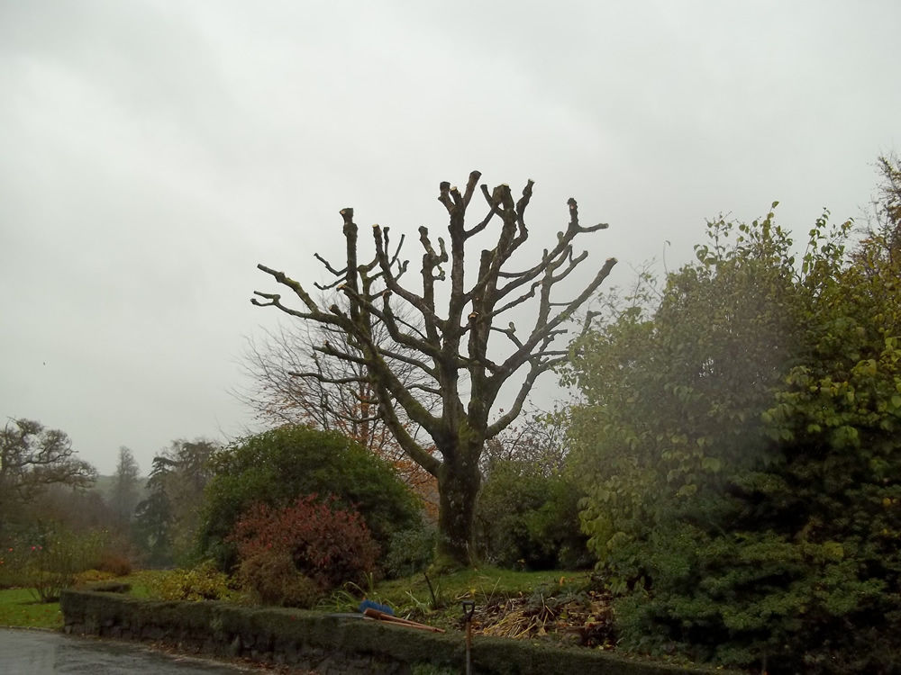 Maple tree reduced back in size, Stoodleigh
