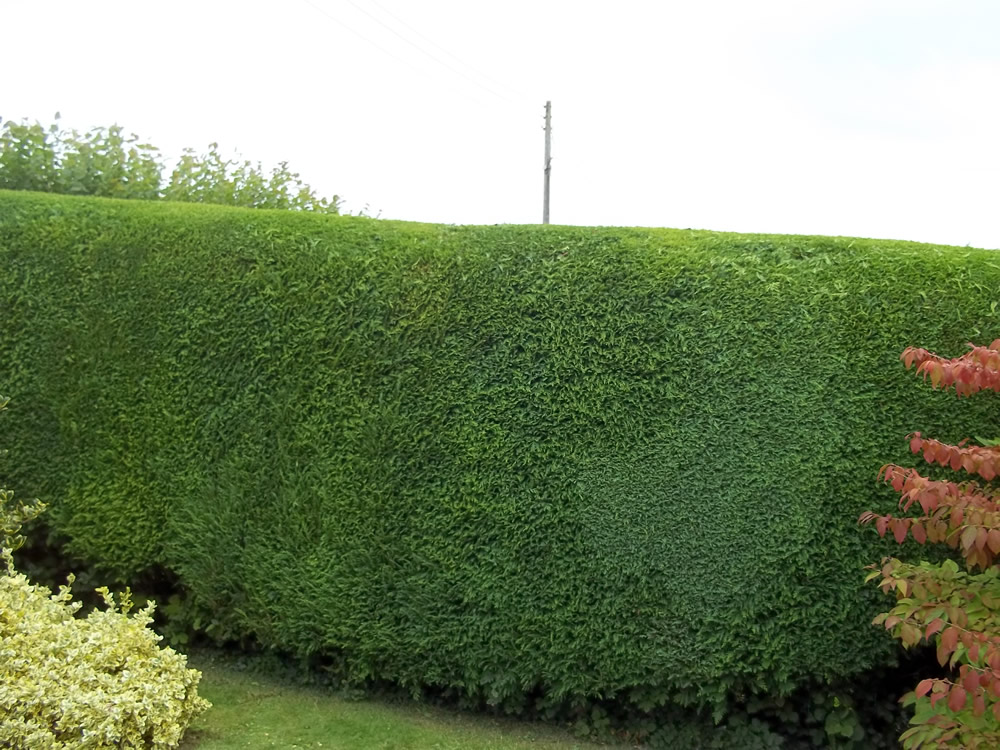 Hedge Trimming - After