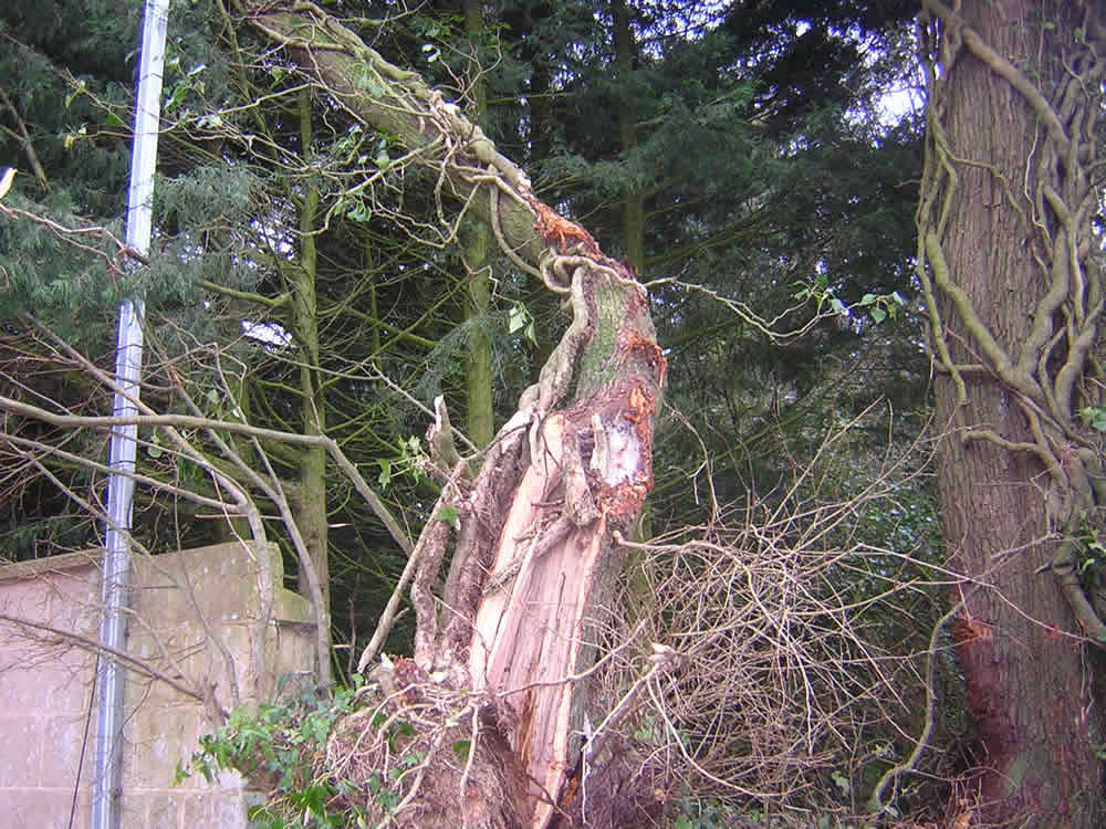 Small and medium storm damaged Lime trees, Silverton